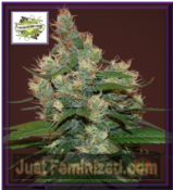 Cream of the Crop Sour turbo Diesel Feminised Cannabis Seeds